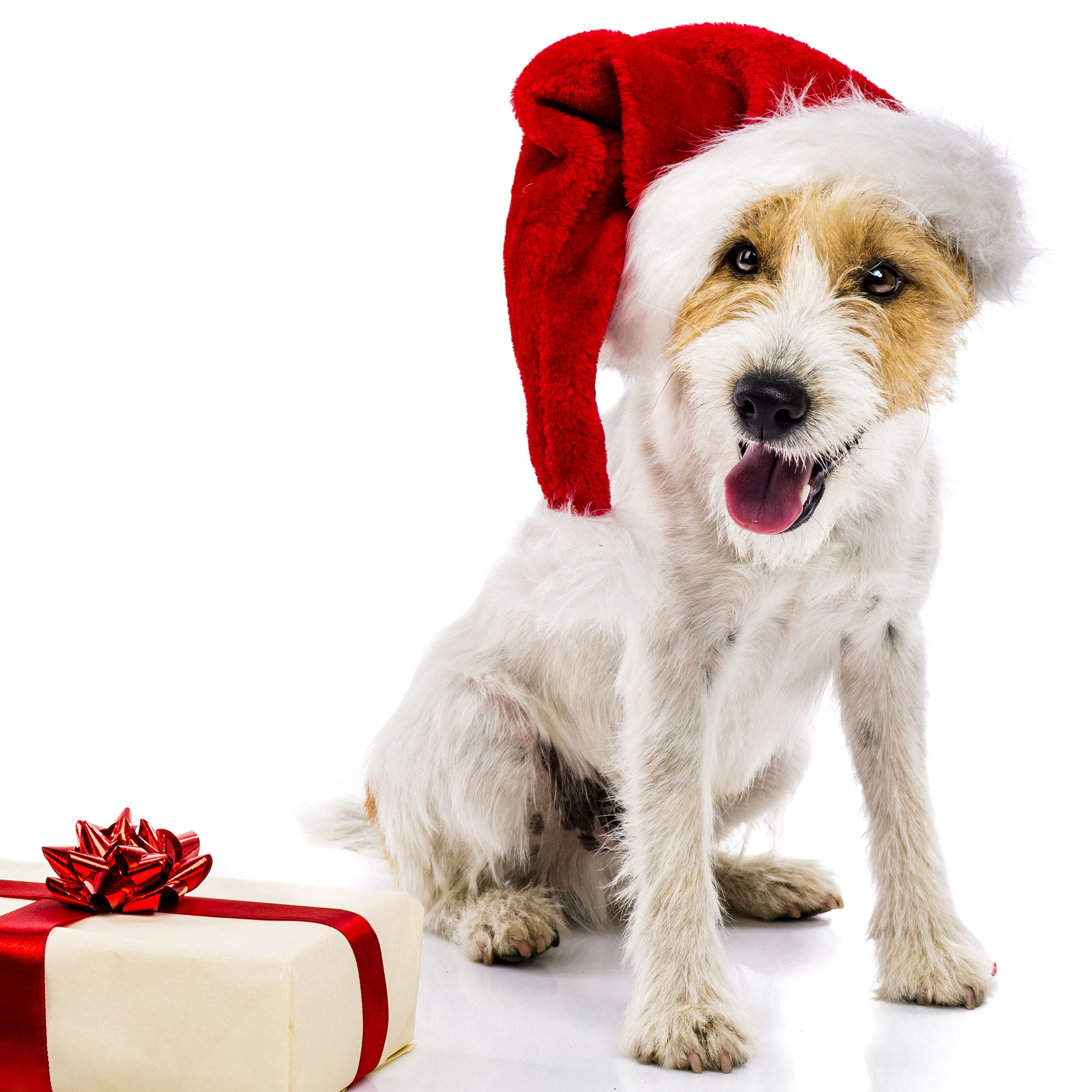 Terrier_ChristmasHat_present_sm